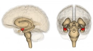 biology - amygdala in red